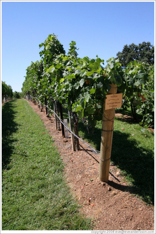 Vertical Shoot Trellis System Merlot Gainey Vineyard