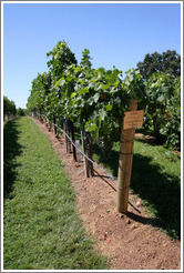 Vertical Shoot trellis system.  Merlot.    Gainey Vineyard.