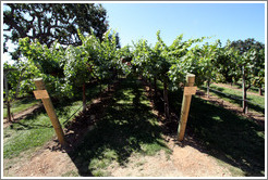 Geneva Double Curtain trellis system.  Sauvignon Blanc.  Gainey Vineyard.