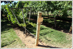 French Lyre trellis system.  Semillon.  Gainey Vineyard.