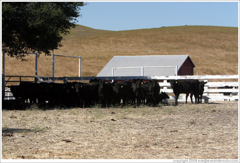 Cows standing in the shade.  Tres Hermanas Winery.