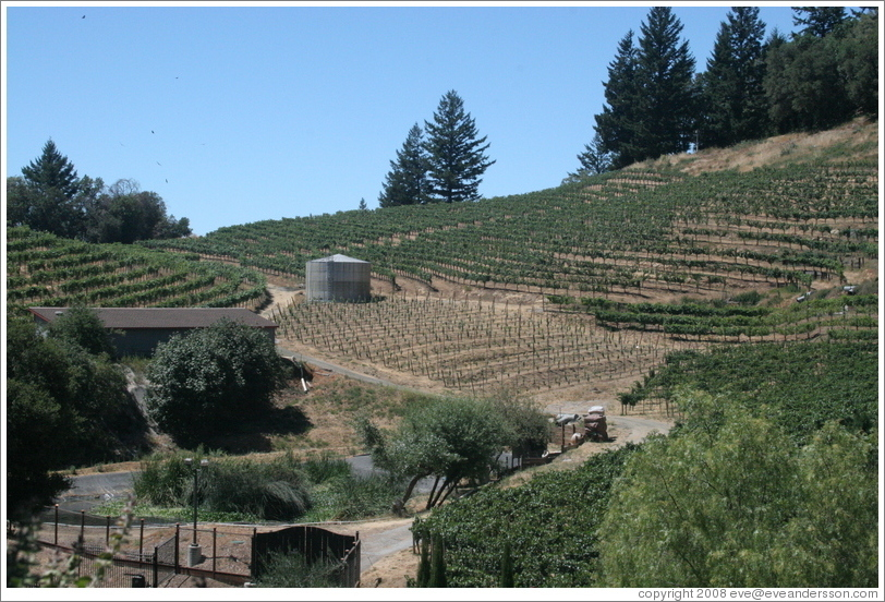 Vineyard.  David Bruce Winery.