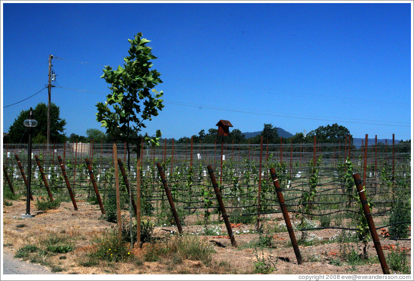 Young vines.  DeLoach Vineyards.