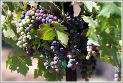 Cabernet Sauvignon grapes.  Foppiano Vineyards.