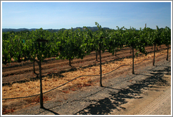 Cabernet Sauvignon vines.  Foppiano Vineyards.