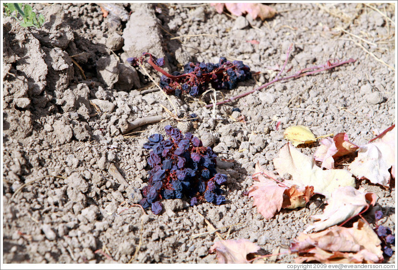 Dried grapes on the ground, Limerick Lane Cellars.