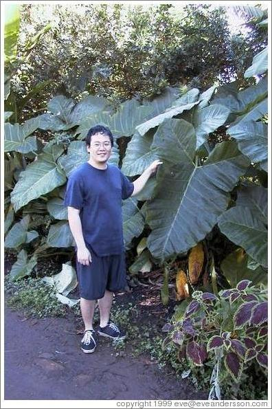 Jin demonstrates the immensity of the plant's leaves. Road to Hana (near Twin Falls), Maui.