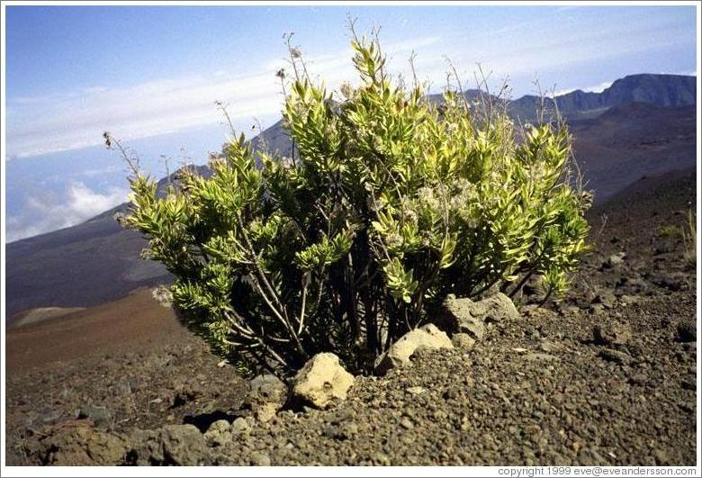 One of the few plants at the top of Haleakala.
