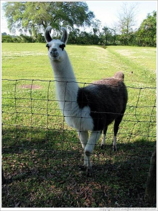 Evergreen Plantation.  Pet llama.