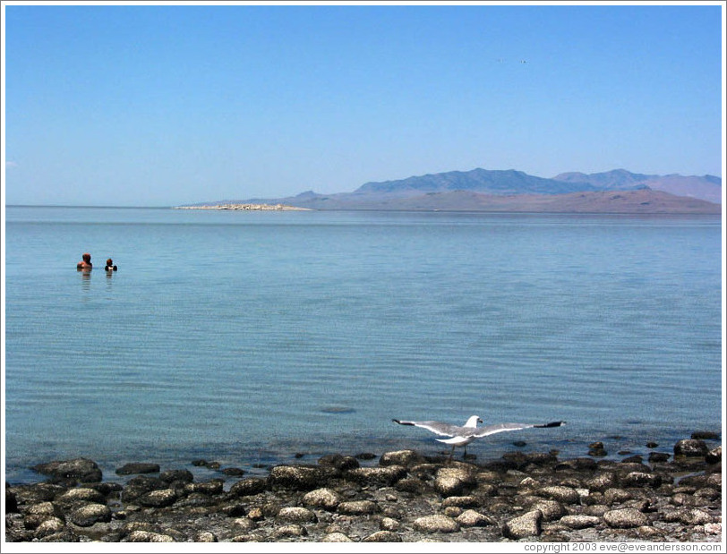 Antelope Island beach. Swimmers, seagull, and flies.