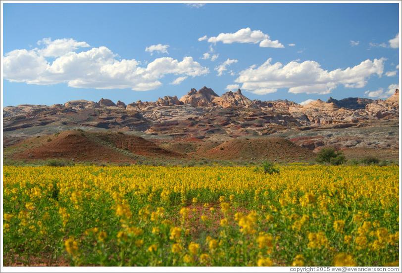 Landscape with yellow flowers near goblin valley photo id 11440 landscape with yellow flowers near goblin valley mightylinksfo