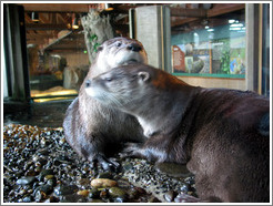 Seattle Aquarium.  Two otters that love to play together.