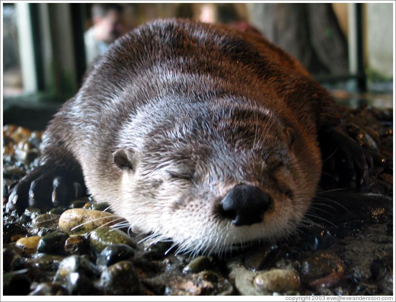 """Camps de """"rétention""""ou """"concentration"""" - Page 2 Aquarium-otter-sleeping-large"""