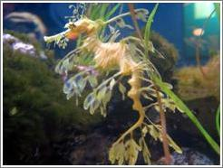 Seattle Aquarium.  Sea Dragon.  This animal, related to the sea horse is delicate, graceful, and blends in with plants.