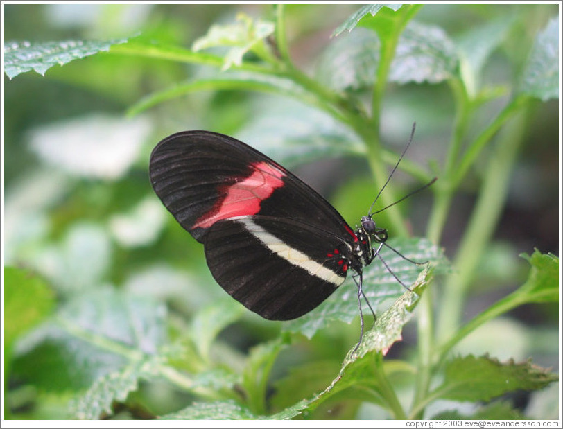 Butterfly at the Seattle Science Center Tropical Butterfly House.