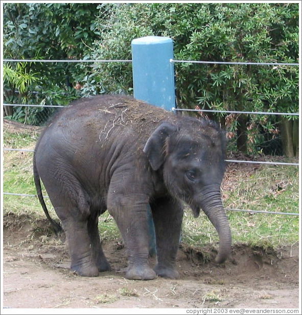 Woodland Park Zoo.  Hansa, the baby elephant.