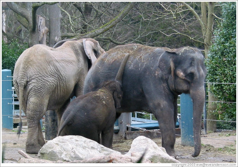 Woodland Park Zoo.  Hansa, the baby elephant, and her parents.  She is vaccuuming the hay from her mother's back.