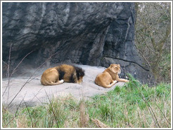 Woodland Park Zoo.  Lions.